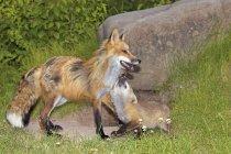 Лисиця руда і Kit — стокове фото
