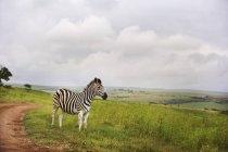 Зебра в сельской местности на траве — стоковое фото