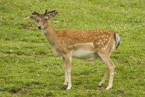 Fallow Deer standing In grassy Field — Stock Photo