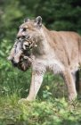 Mountain Lion Carrying Cub — Stock Photo
