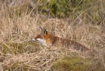 Red Fox Hiding In Brown Grass — Stock Photo