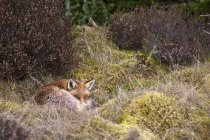 Red fox dormindo — Fotografia de Stock
