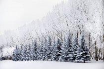 Снег покрыл деревья — стоковое фото