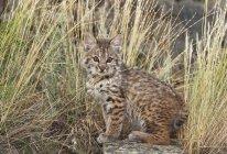 Bobcat gattino sedersi — Foto stock