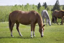 Три лошади пасутся — стоковое фото