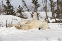 Eisbär ins Rollen mit Cub — Stockfoto