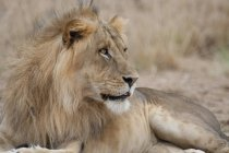 Лев, лежа на траве — стоковое фото