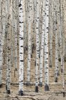 Branco Aspens na floresta — Fotografia de Stock