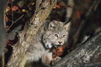 Lynx camminando su ramo — Foto stock