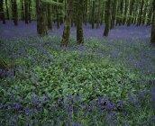 Irlande, Jacinthe des bois sur sol forestier — Photo de stock
