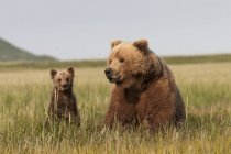 Grizzly Bear e Cub — Foto stock