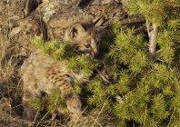 Bobcat котенка игры — стоковое фото