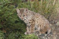 Bobcat кошеня сидить — стокове фото