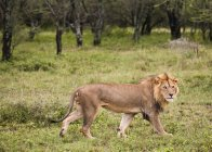 Male Lion walking on green grass — Stock Photo