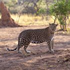 Leopard standing on ground — Stock Photo