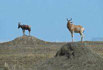 Hartebeest And Topi Standing — Stock Photo