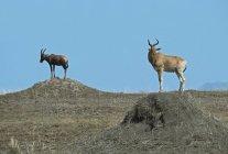 Hartebeest e Topi em pé — Fotografia de Stock