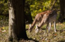 Два выпаса оленей — стоковое фото