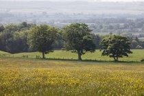 Field With Yellow Wildflowers — Stock Photo