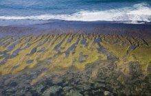 Carrageenan водорості збирання — стокове фото