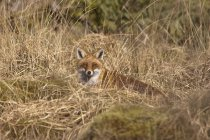 A Red Fox Hiding In Brown Grass — Stock Photo