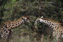 Жирафы, кормления на ветке — стоковое фото