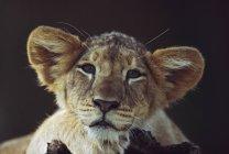Leone cucciolo posa su ramo — Foto stock
