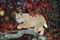 Bobcat Walks On Branch — Stock Photo