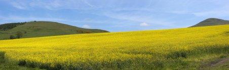 Campo di fiori gialli — Foto stock