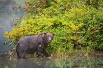 Grizzly Bear walking in acqua — Foto stock
