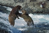 Grizzly Bears Fight — Stock Photo
