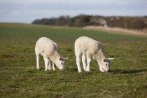 Two Lambs Grazing — Stock Photo