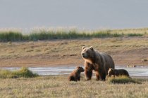 Grizzly Bear With Cubs — Stock Photo