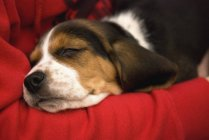 Собака НПД на одеяло — стоковое фото