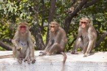 Три мавпи, сидячи — стокове фото