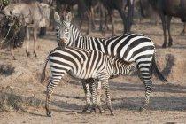 Zebras standing on ground — Stock Photo