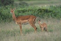 Da Impala com Fawn na grama verde — Fotografia de Stock
