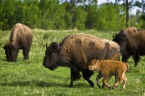 Bisons In Field with green grass — Stock Photo