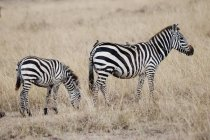 Zebras standing over dried plants — Stock Photo