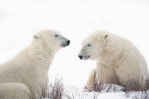 Два белых медведя — стоковое фото