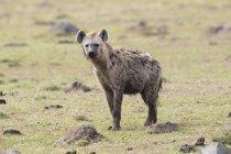 Spotted Hyena sull'erba verde — Foto stock