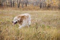 Golden Retriever em gramado — Fotografia de Stock