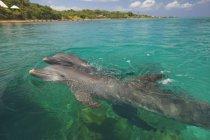 Grands dauphins nager — Photo de stock