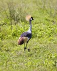 South African Crowned Crane — Stock Photo