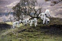 Baby Lambs On Hill — Stock Photo
