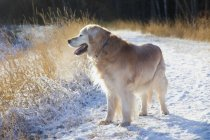 Golden Retriever on snow — Stock Photo