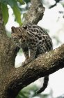 Margay seduta su albero — Foto stock