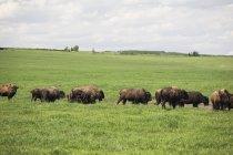 Стадо буйволів пасовищі — стокове фото