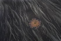 Starfish On Beach dark sand — Stock Photo