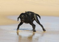 Chien en marchant sur la plage — Photo de stock